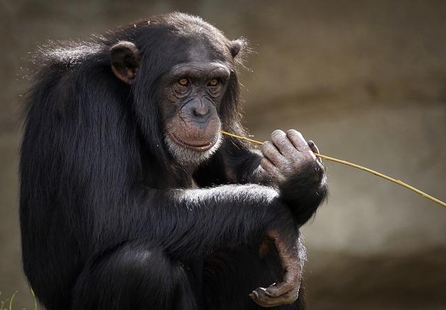 chimpanzee-3703230_1920
